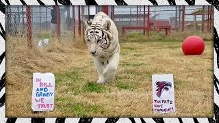 Big Cats Choose Superbowl LI Winners! | FALCONS VS. PATRIOTS