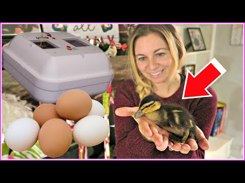 , title : 'Setting up an INCUBATOR to hatch DUCK EGGS! Hatching ducklings for our homestead