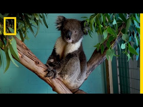 How Are Koalas Recovering from the Australian Bushfires?