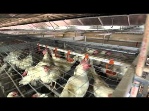 CSES Laying Hen Housing Research Project