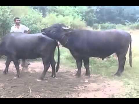 Animal mating 18