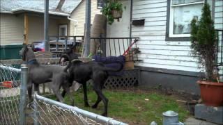 My Neighbors Two Great Danes