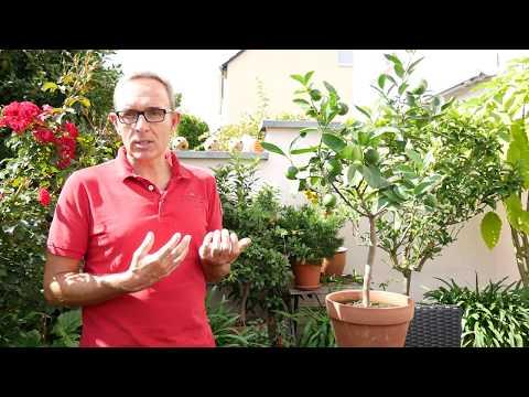 So müsst ihr euren Limettenbaum pflegen