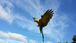 Rambo macaw free flight and enjoy (RIP Rambo shot down by a hunter)