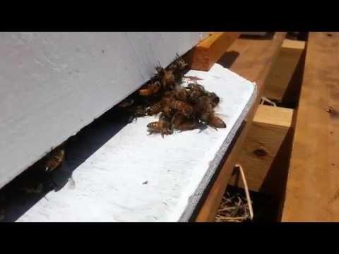 пчеловодство. пчёлы против шершня