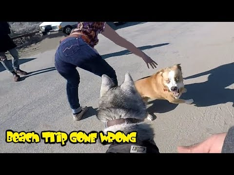 GONE WRONG: Loose Dog Approaches MALE Siberian Husky Enjoying His Beach Run!