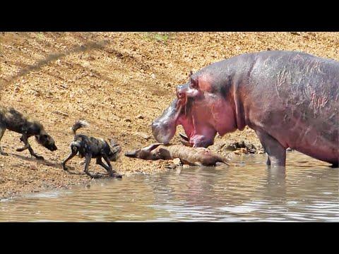 العرب اليوم - شاهد: مشاهد مروعة لفرس النهر وهو يلتهم حيوانات كاملة