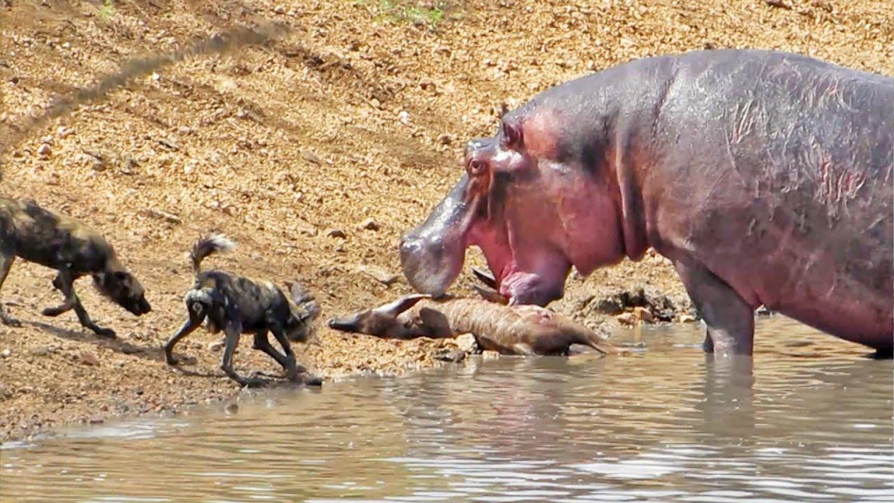 Бегемот пытался спаси детеныша антилопы