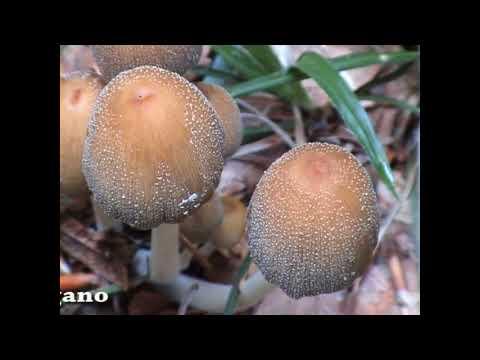 Il klotrimazol è efficace a un fungo di gambe