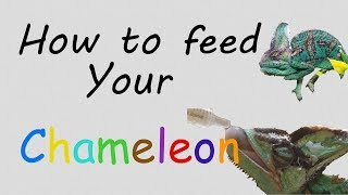 How To Feed A Chameleon Food And Water!