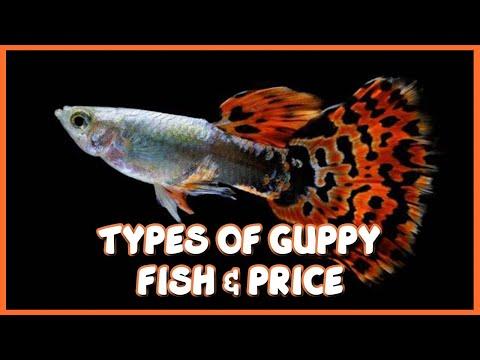 Guppy Fish - Wholesale Price & Mandi Rate for female Guppy