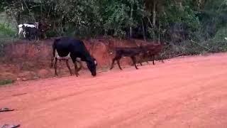 Bovino Leite Girolando Vaca 20-30l - e-rural Imagens