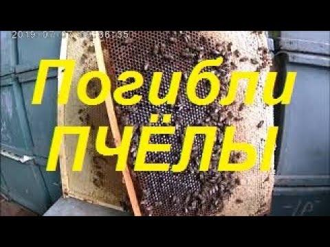 Подсолнух 2019 Гибель пчёл.Отрава или болезнь.Статистика по приносу нектара  весовых ульев.
