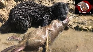 My Mink Brocc and Rocky Hunting Muskrats