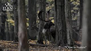 Fallow Buck in Hungary 2020