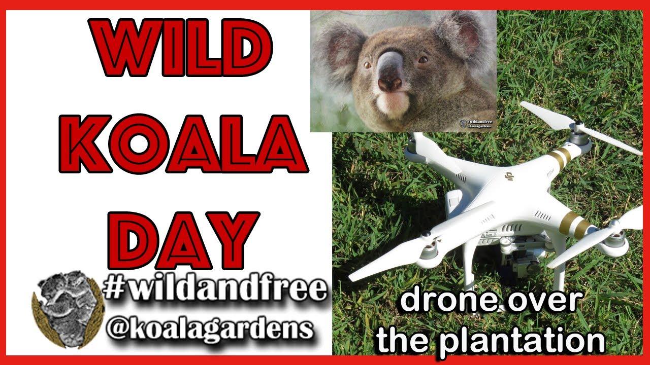 Wild Koala Day – history of the food tree plantation 2020