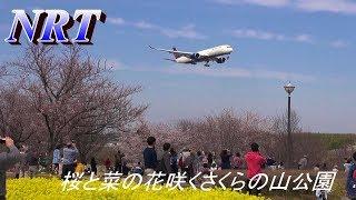 本日の成田空港さくらの山公園AIrbusA350と桜
