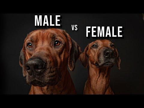 Male vs Female Rhodesian Ridgeback: Which One Should You Get?
