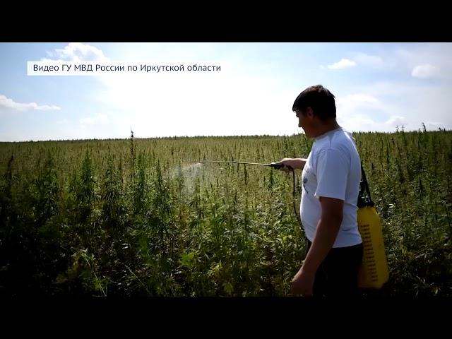 Урожай конопли в Мегете