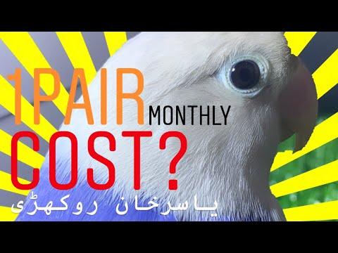Monthly Cost of 1 Pair of Lovebirds | Yasir Khan Rokhri