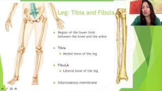 10. The Leg: Tibia and Fibula (4:48 minutes)