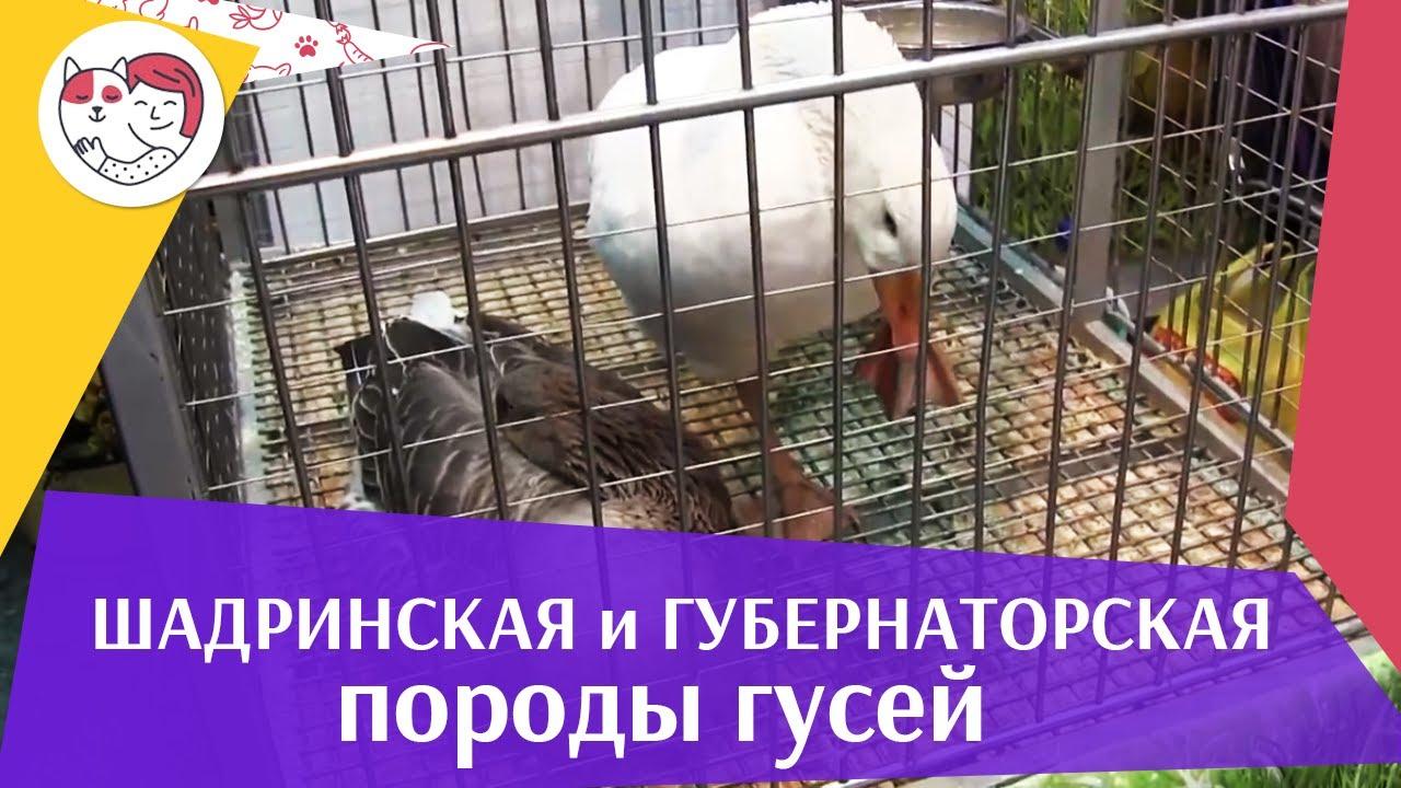 Порода  гусей ШАДРИНСКАЯ и ГУБЕРНАТОРСКАЯ  Агропромышленная выставка Золотая  осень 2016 iLikePet