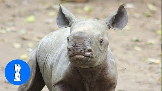 Baby Rhino Charging - FUNNIEST Compilation