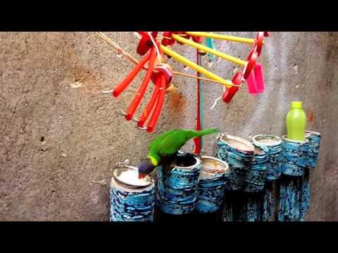 Video Makan Siang PLATO (Burung Nuri Ambon)