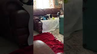 Boston Terrier Puppies Videos