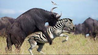 LIVE: Craziest Animal Fights! Buffalo vs Zebra, Lion - Hyena vs Wild Dogs - BBC Wild Documentary