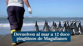 Devuelven al mar a 12 doce pingüinos de Magallanes