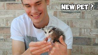 Taming a Baby Opossum in 3 Days