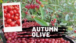 Plant spotlight - Nitrogen Fixing Autumn Olive