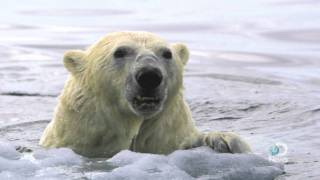 Polar Bears Forced to Swim Longer Distances