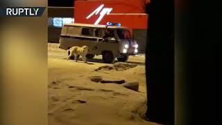 Уральские полицейские «задержали» алабая за агрессивное поведение