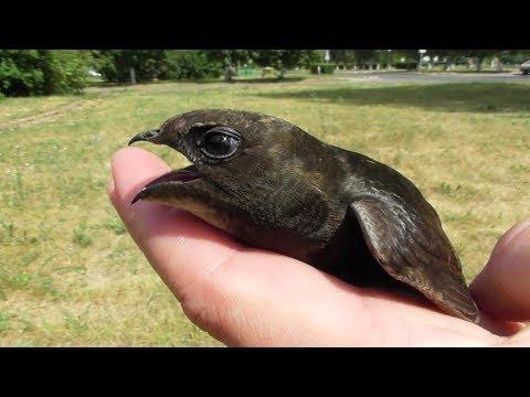 Чёрный стриж. История спасения. ( Apus apus )