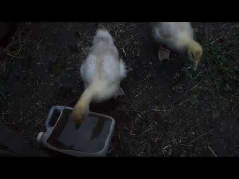 Маленькие смешные гусята