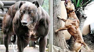 THE MOST MUSCULAR DOG BREEDS
