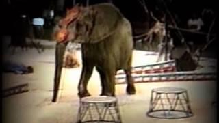 Смотреть онлайн Слониха напала на дрессировщиков во время выступления