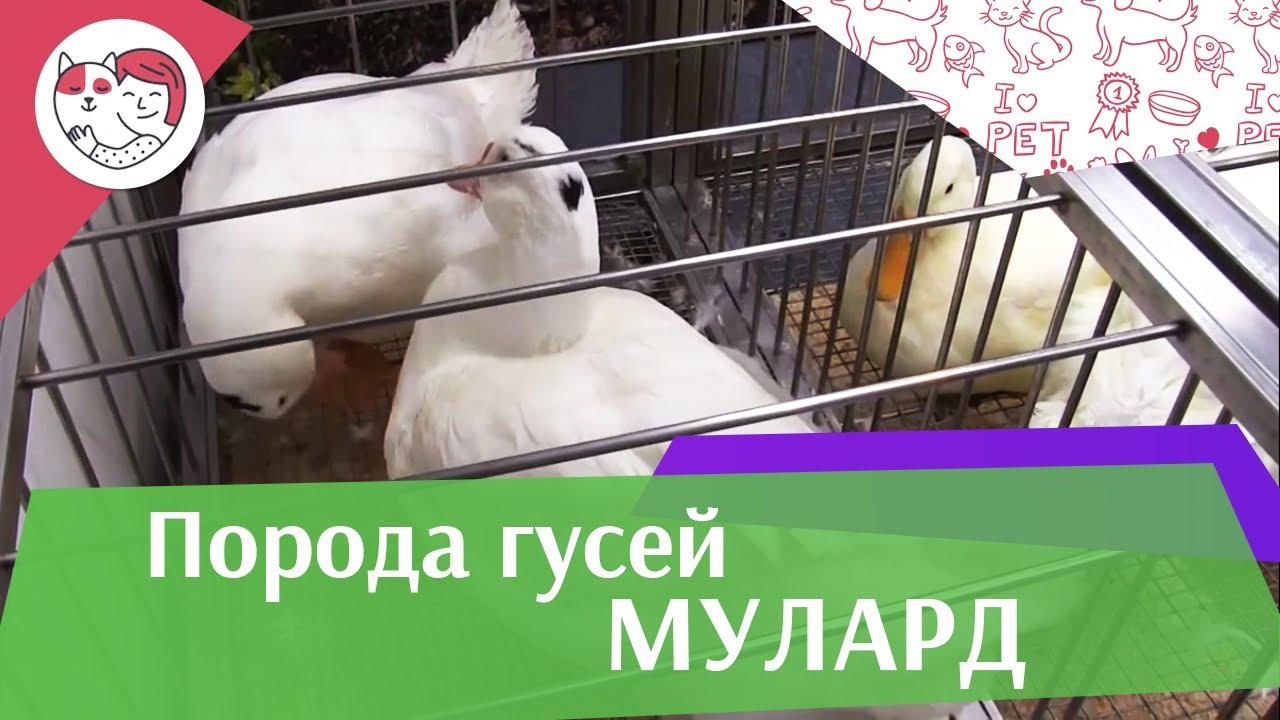 Порода гусей МУЛАРД Агропромышленная выставка Золотая осень 2016 iLikePet