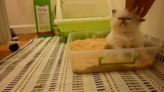 4 Week Old Kitty Litter Box Training 101 - Part 1 - Victorian Gardens Cattery