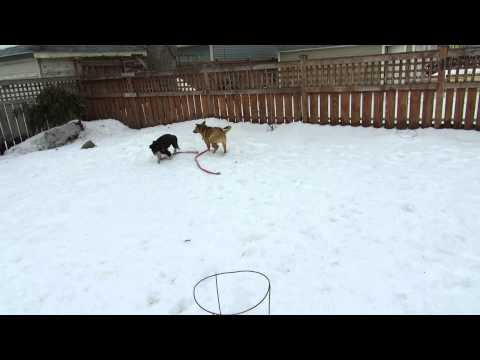 Osnee plays with fellow fosterdog