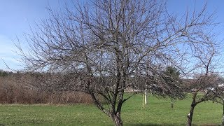 How to Prune A Really Neglected Apple Tree