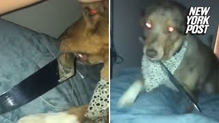 Knife-wielding dog pays houseguest a midnight visit