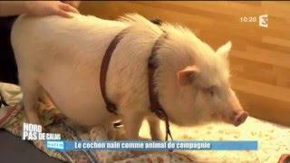 Adopter un cochon nain : les conseils de Frédéric Vlaemynck