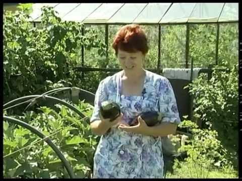 Как вырастить баклажаны в Сибири?