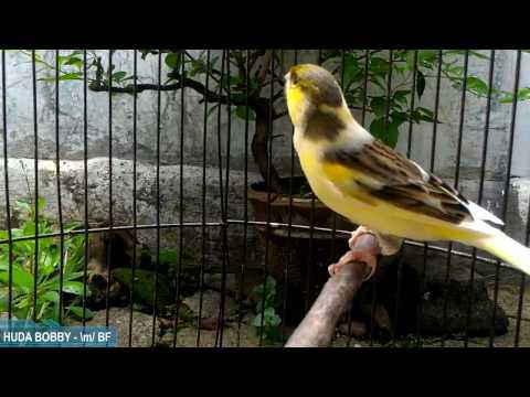 Video Tips Merawat Burung Kenari Harian Biar Slalu Sehat & Gacoorrrr