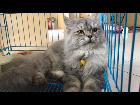 Video Cara Mengatasi Kucing Diare (part 2)