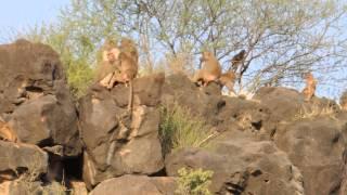 Hamadryas Baboons-Awash National Park, Ethiopia.