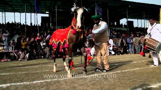 Amazing horse dance displayed at Kila Raipur sports festival